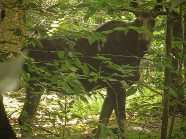 [UGCHAR-CJ-breaking news]Bull moose sighting