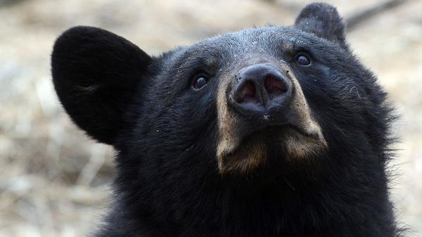 "[UGCPHI-CJ]""@NBCPhiladelphia: BruH Bears evolving Video shows bear walking on hind legs through NJ town: http:/"