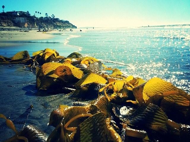 [sandiegogram] #seaweed #ocean #californiabeach