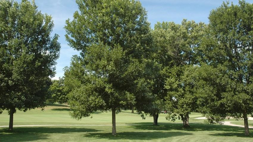 Endangered Ash Trees