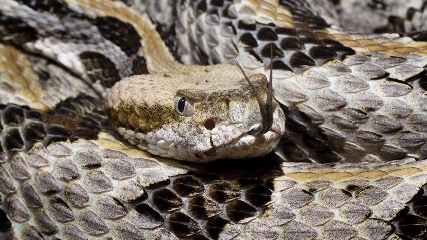 Venomous Timber (Canebrake) Rattlesnake with Forked Tongue