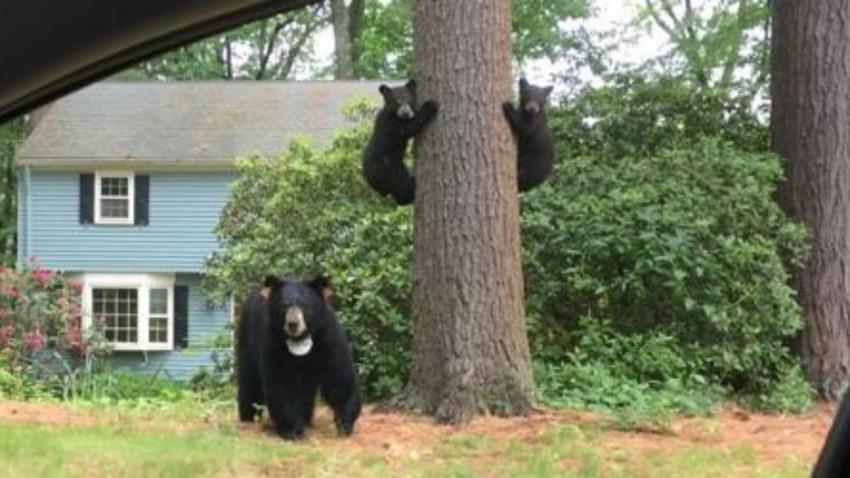 Bear 4c