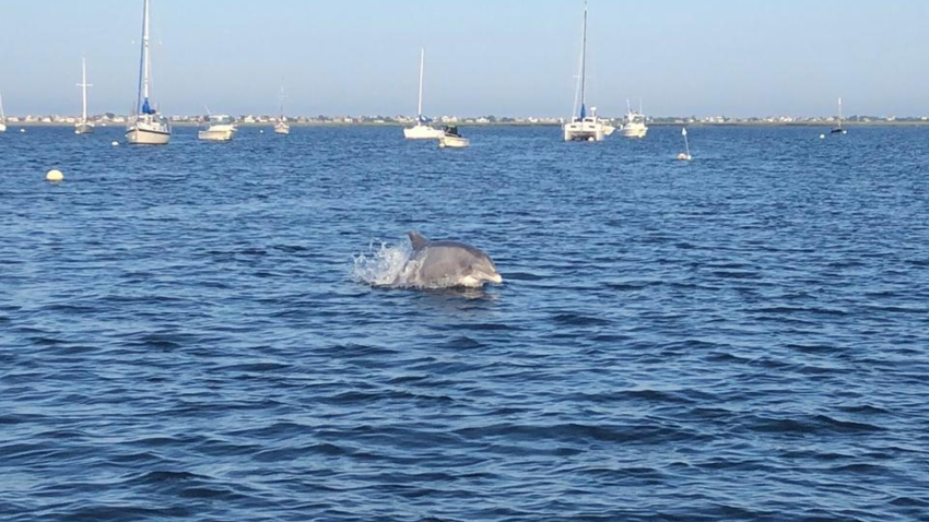 Bottlenose dolphin in Merrimack River