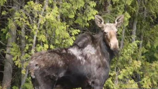 Concern_for_Moose_Population_in_Vermont