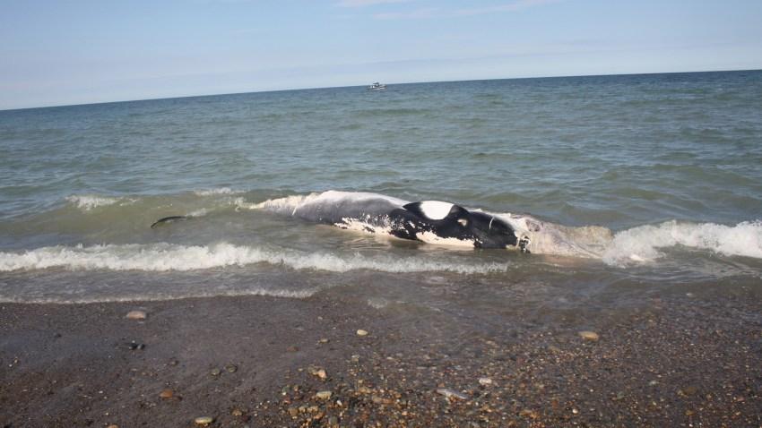 Dead minke whale Scituate 09102019