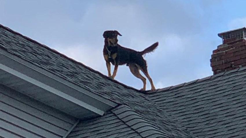 Dog on Roof in Bridgeport