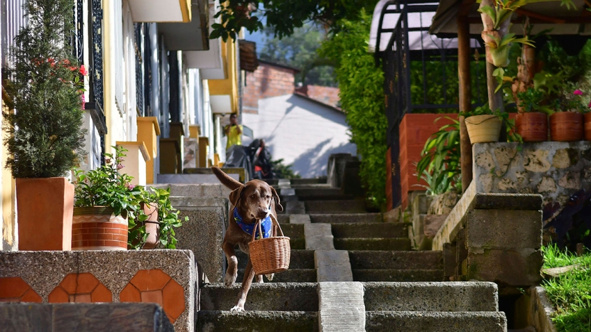 Eros carries a basket of bread from the El Porvenir mini-market as he makes a delivery on his own in Medellin, Colombia, July 7, 2020. The eight-year-old chocolate Labrador remembers the names of customers who have previously rewarded him with treats, and with some practice, he has learned to go to their houses on his own.