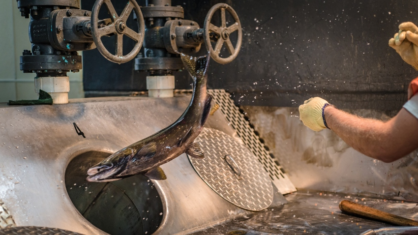 Worker at a fish hatchery throwing a chinook salmon down a sorting tube