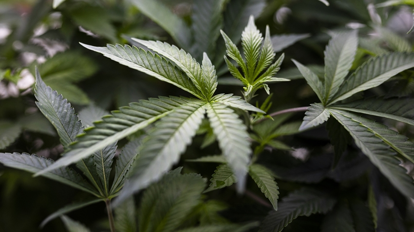 New Hampshire House Passes Bill to Legalize Recreational Marijuana – NECN