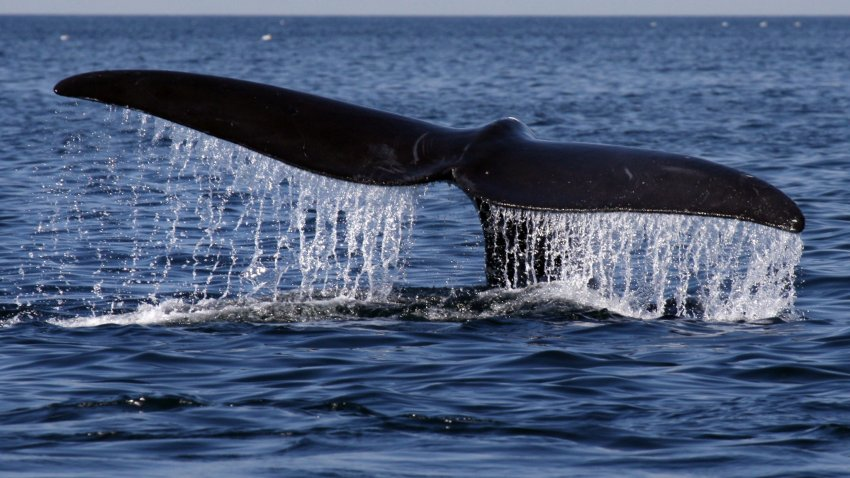 Whale's tail above water