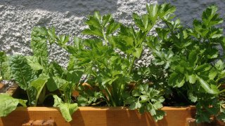 Celery and spinach in pot growing