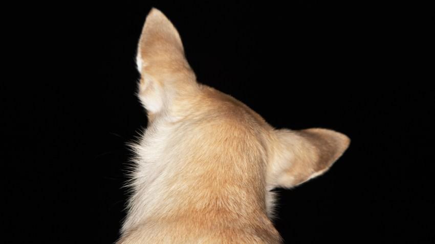 Chihuahua Looking Back