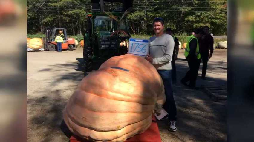 Giant Pumpkin Maine