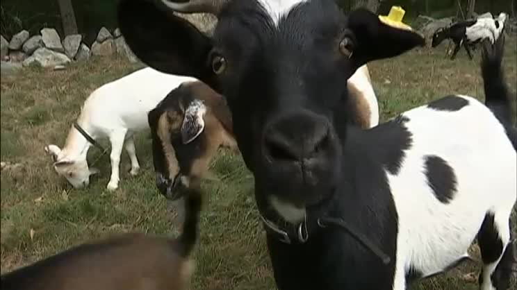 Goats To Go