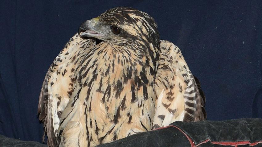 Great Black Hawk euthanized