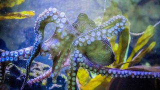 New Zealand Inky the Octopus