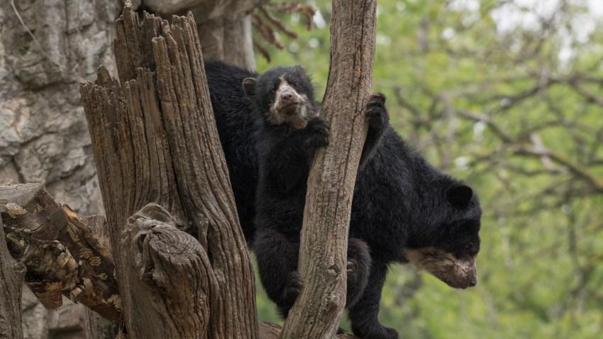_Julie Larsen Maher_1579_Andean Bear and Cub_QZ_05 01 17