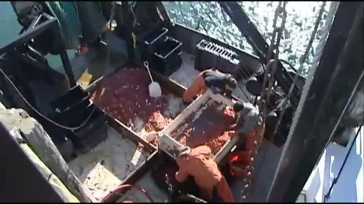 Maine shrimp season