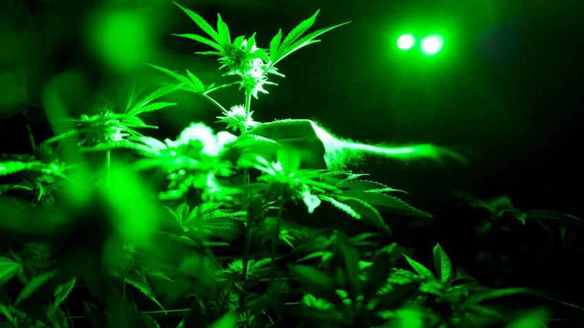 Marijuana Opioids