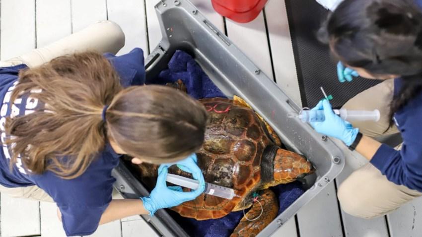 New England Aquarium endangered sea turtles rescued