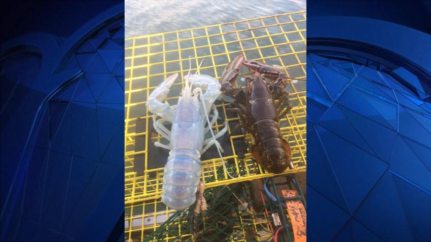 Translucent Lobster