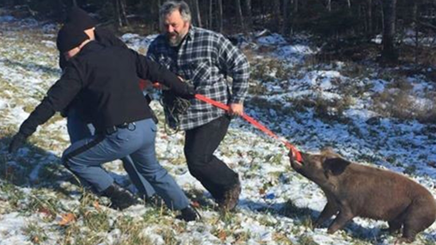 Unruly pig captured in Palmyra Maine
