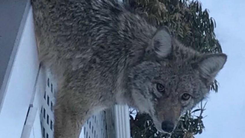 Weston Coyote Face