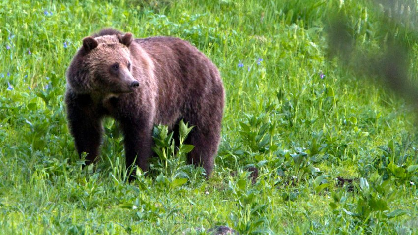 This July 6, 2011, file photo, shows a grizzly bear roaming near Beaver Lake in Yellowstone National Park, Wyo.