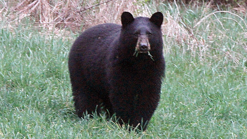 Bear Hunt Big Year