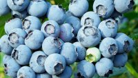 Juicy News: July Is Now National Blueberry Month in Maine