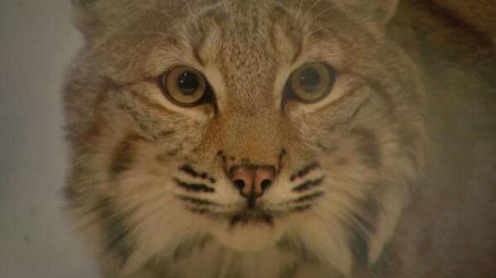 bobcat bill vetoed