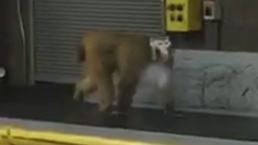escaped Baboon