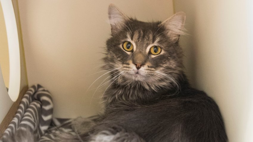 """An """"easy-going and friendly"""" cat is searching for his forever home after he was found frozen and stuck to a shipping container in Dedham, Massachusetts."""