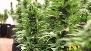 marijuana-plants-generic