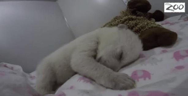 polar bear nap