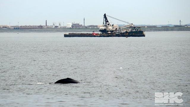 whale BHC 1