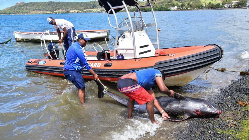 Men recover the carcass of melon-headed whale at the beach in Grand Sable, Mauritius, on August 26, 2020.