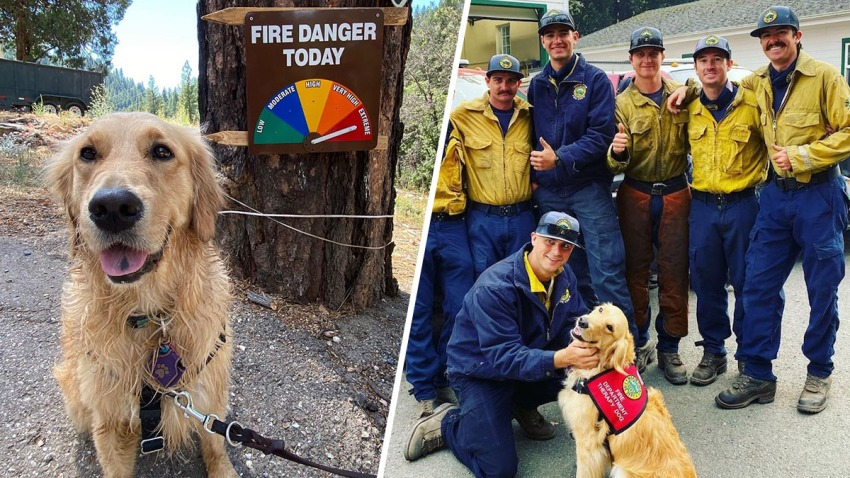 Kerith the Golden Retriever and firefighters battling the Woodward Fire in California's Marin County