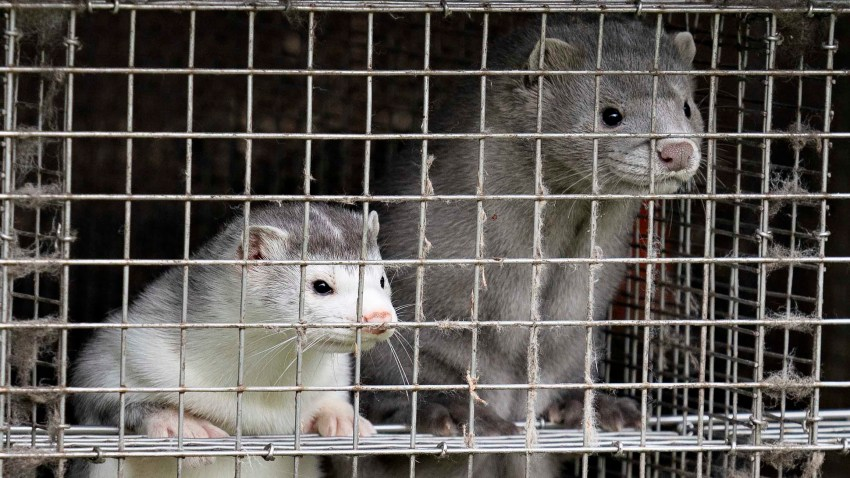 In this Oct. 9, 2020, file photo, Minks are seen at a farm in Gjol, northern Denmark.