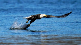 FILE - In this Nov. 20, 2020, file photo, a bald eagle grabs a fish from the Susquehanna River near the Conowingo Dam, in Havre De Grace, Md. The number of American bald eagles has quadrupled since 2009, with more than 300,000 birds soaring over the lower 48 states, government scientists said Wednesday in a new report.