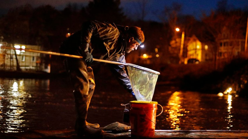 FILE - In this April 16, 2020 file photo, John Golding of Freeport, Maine, looks inside his dip net while fishing for baby eels in Yarmouth, Maine. The state's baby eel fishermen are hopeful for a more stable year in 2021 after the pandemic disrupted the worldwide economy last year.