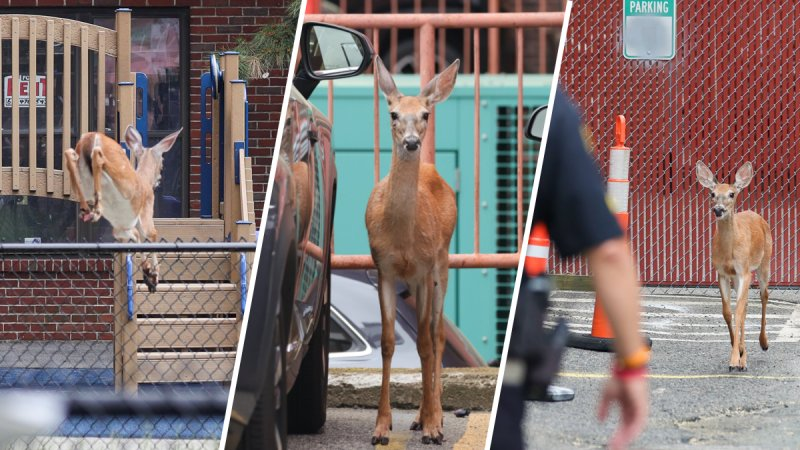 PHOTOS: Deer Hops Through Boston's North End, Leading Police on Chase