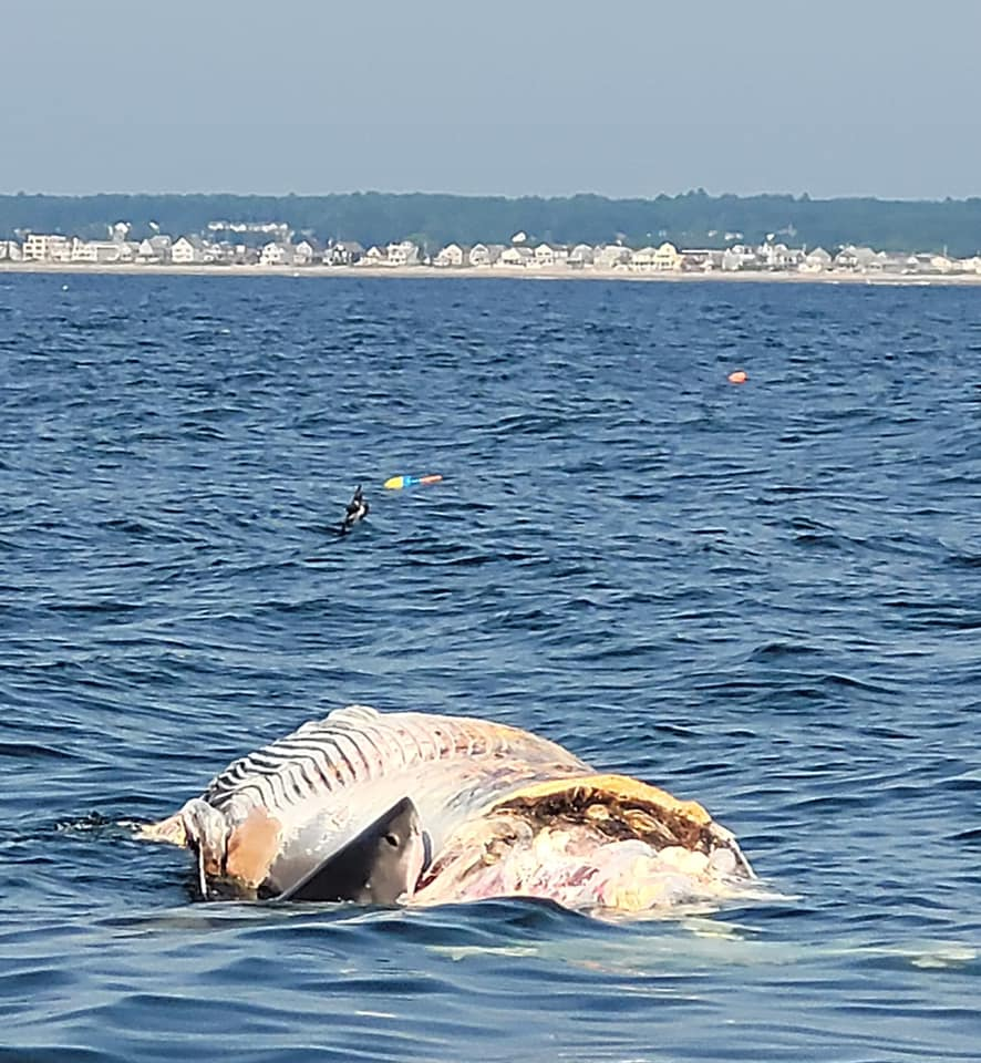 Shark in the coast of maine eating carcass of whale
