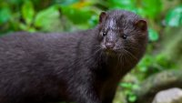 Police Issue Warning About Aggressive Minks in Connecticut