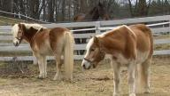 Maine Island Horse Farm in Jeopardy Due to Lease Dispute