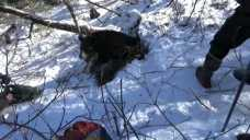 Black Bear Plays Tug-of-War With Wildlife Researcher