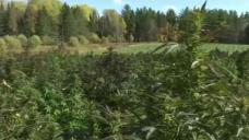 Pick-Your-Own Hemp Offered by Vt. Farm