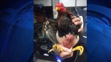 Massachusetts State Police Make Cockfighting Arrest