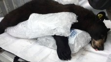 Loose Black Bear Tranquilized, Captured in Lawrence, Mass.
