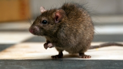 NY Commuters Scurry as Rat Hops Down Up Escalator